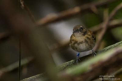 Spotted Antbird - Female - Record - Barro Colorado Island, PA