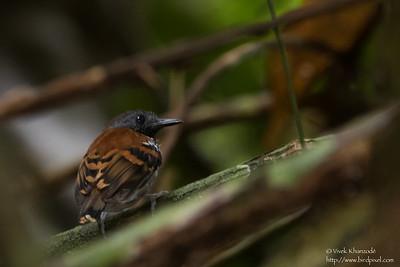 Spotted Antbird - Male - Record - Barro Colorado Island, PA