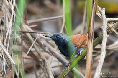 White-bellied Antbird - Male - Record - Gamboa Rainforest Resort, Gamboa, PA