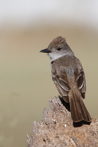 Ash-throated Flycatcher - Los Altos, CA, USA