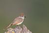 Ash-throated Flycatcher - Rancho San Antonio, Los Altos, CA, USA