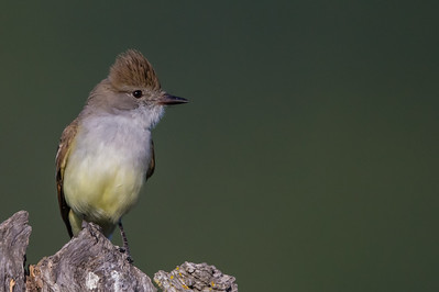 Ash-throated Flycatcher - Rancho San Antonio, Los Altos, CA, USA