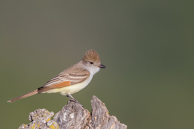 Ash-throated Flycatcher -  Los Altos, CA, USA