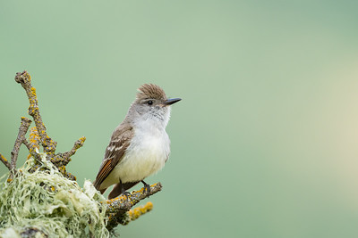 Ash-throated Flycatcher - San Jose, CA, USA