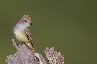 Ash-throated Flycatcher - Cupertino, CA, USA