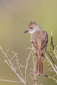 Ash-throated Flycatcher - Loma Prieta Ave., Santa Cruz Mountains, CA, USA