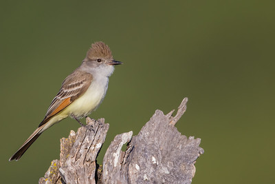 Ash-throated Flycatcher - Cupertino, CA, USA