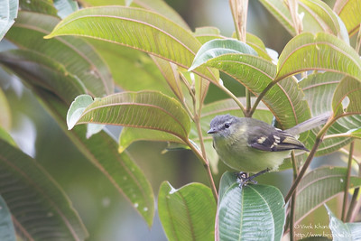 Ashy-headed Tyrannulet - Record - San Isidro Lodge, Ecuador