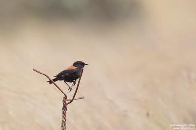Austral Negrito - Chile