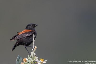 Austral Negrito - Tierra del Fuego NP, Argentina