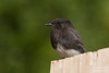 Black Phoebe - San Jose, CA, USA