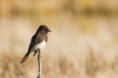 Black Phoebe - Coyote Hills Regional Park, Fremont, CA, USA