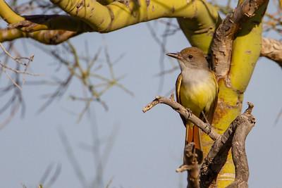 Brown-crested Flycatcher - Tucson, AZ, USA