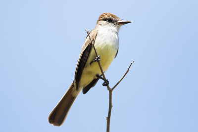 Brown-crested Flycatcher - Little Tobago Island, Tobago