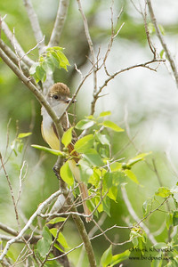 Brown-crested Flycatcher - Martin Homestead, TX, USA