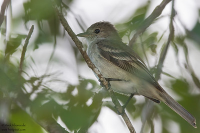 Caribbean Elaenia - Record - Caye Caulker, Belize
