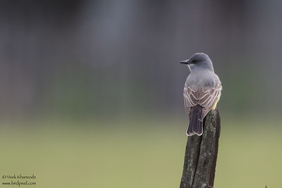 Cassin's Kingbird - Record - San Benito County, CA, USA