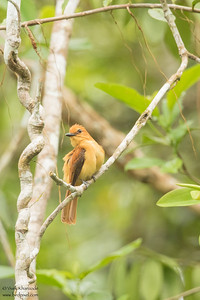 Cinnamon Atilla - Record - Amazon, Ecuador