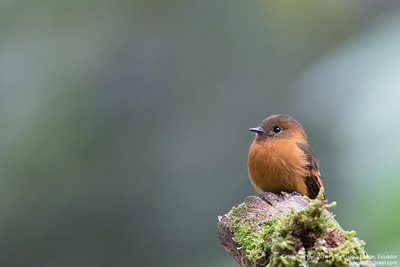 Cinnamon Flycatcher - San Isidro Lodge, Ecuador