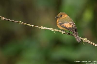 Cinnamon Flycatcher - Napo, Ecuador