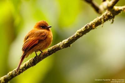 Cinnamon Flycatcher - Minca, Colombia