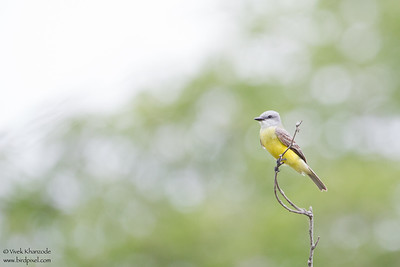 Courch's Kingbird - Brownsville, TX, USA