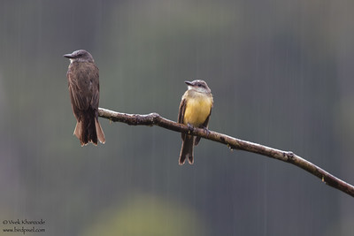 Crowned Slaty-Flycatcher - Amazon, Ecuador