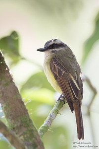 Dusky-capped Flycatcher - Record - Tandayapa Lodge, Ecuador