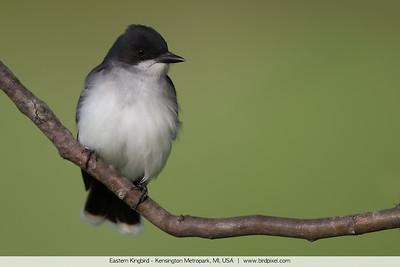 Eastern Kingbird - Kensington Metropark, MI, USA