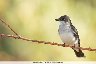 Eastern Kingbird - OR, USA