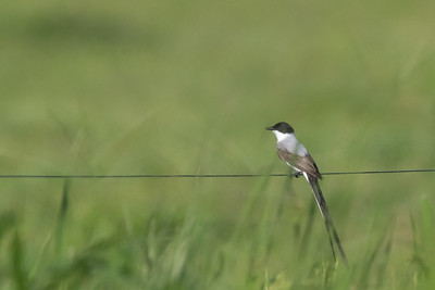 Fork-tailed Flycatcher - Record - Osa, Costa Rica
