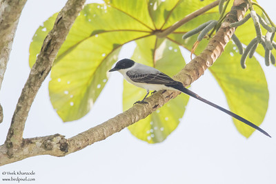 Fork-tailed Flycatcher Flock - Crooked Tree, Belize