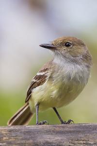 Galapagos Flycatcher - Isla Floreana, Galapagos, Ecuador