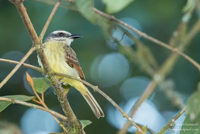 Golden-crowned Flycatcher - Record - Mindo, Ecuador