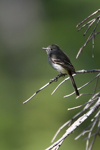 Gray Flycatcher - Near Yuba Campground, Hwy 49, CA, USA