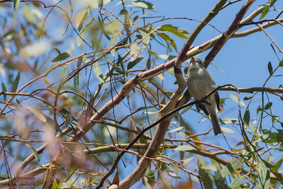 Gray Flycatcher - Santa Clara, CA, USA
