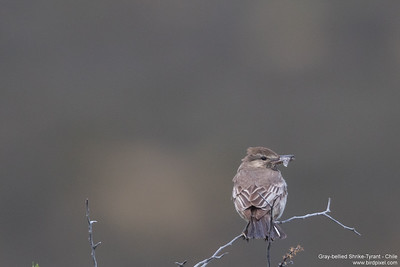 Gray-bellied Shrike-Tyrant - Chile
