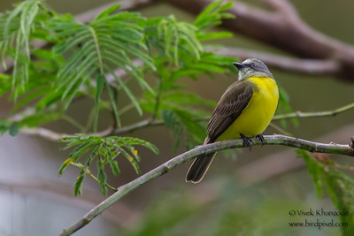 Gray-capped Flycatcher - Record - Amazonia Lodge, Nr. Manu National Park, Peru