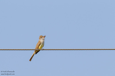 Great Crested Flycatcher - Mission, TX, USA