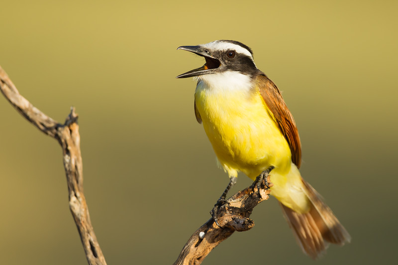 Great Kiskadee - Laguna Seca Ranch, Edinburg, TX, USA