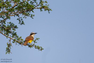 Great Kiskadee - Mission, TX, USA