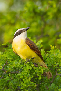 Great Kiskadee - Bentsen - Rio Grande Valley State Park, Mission, TX, USA