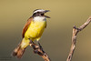 Great Kiskadee - Edinburg, TX, USA