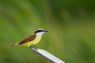 Great Kiskadee - Weslaco, TX, USA