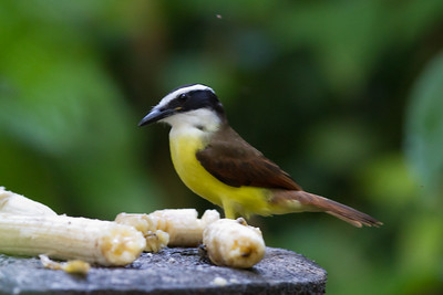 Great Kiskadee - Selva Verde, Costa Rica