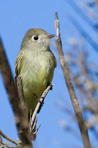 Hammond's Flycatcher - Garin Regional Park, Hayward, CA