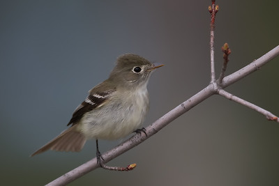 Least Flycatcher - Grayling, MI, USA