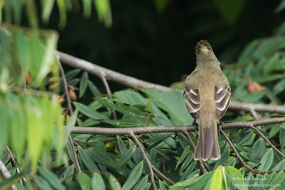 Lesser Elaenia - Gamboa Rainforest Resort, Gamboa, PA