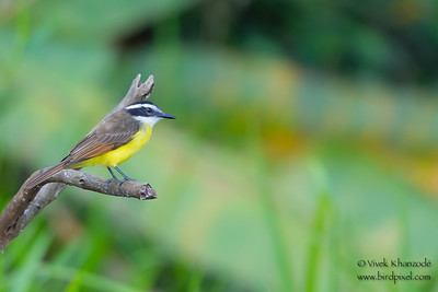 Lesser Kiskadee - Oxbow lake near Tambo Blanquillo Lodge, Peru