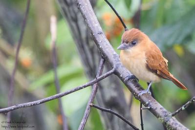 One-colored Becard - Record - Mindo, Ecuador